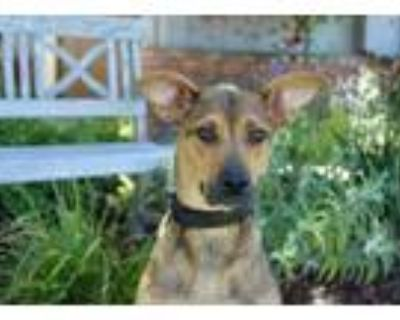Adopt Piper - AwEsOMe FaMily DOg a Shepherd
