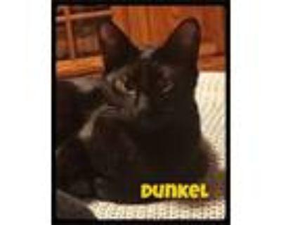 Adopt Dunkel - Foster / 2018 a Domestic Short Hair