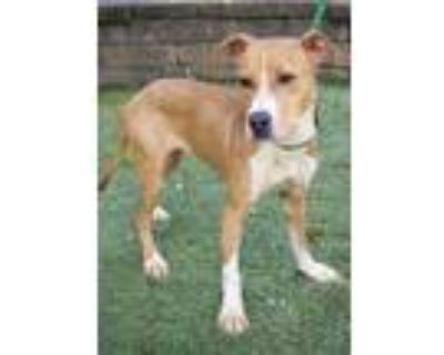 Adopt ELLERY a Brown/Chocolate - with White Labrador Retriever / Mixed dog in