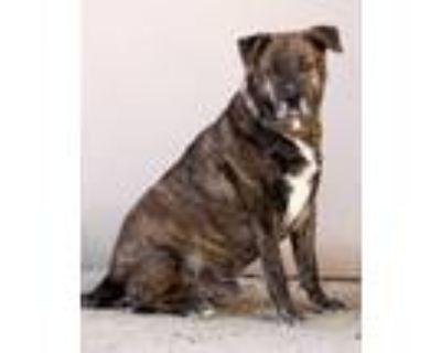 Adopt Buddy a Mastiff, Mixed Breed