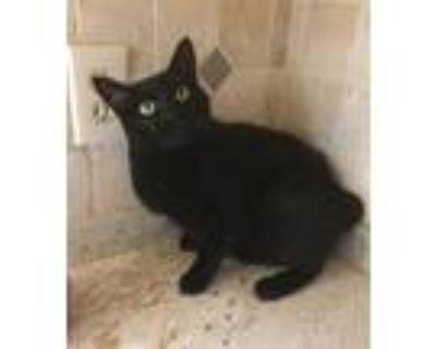 Adopt Bunny a All Black Manx / Mixed (short coat) cat in Mobile, AL (30623365)