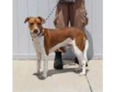 Adopt ASAHI a Brown/Chocolate - with White American Pit Bull Terrier / Mixed dog