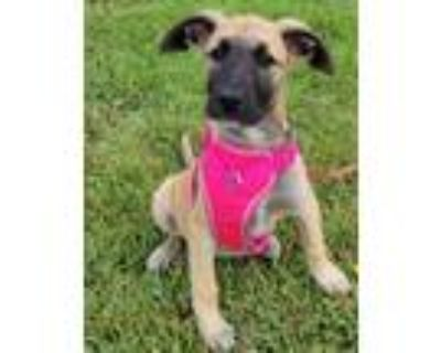 Adopt ROSY a Anatolian Shepherd, Black Mouth Cur