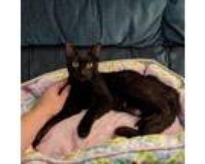 Adopt Cha-Cha a All Black Domestic Shorthair / Mixed cat in Camarillo