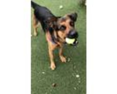 Adopt Midnight a Shepherd (Unknown Type) / Rottweiler / Mixed dog in Fort Myers