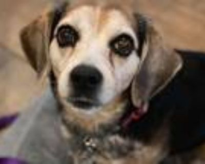 Adopt Lola a Tricolor (Tan/Brown & Black & White) Beagle / Mixed dog in Hayes