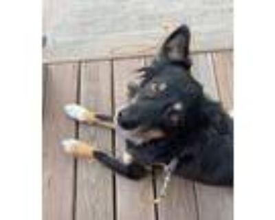 Adopt Bo a Black - with Tan, Yellow or Fawn Australian Shepherd / Mixed dog in