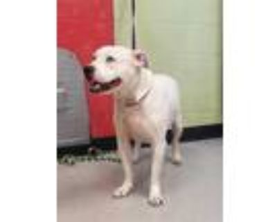 Adopt SALINA a White American Pit Bull Terrier / Mixed dog in Indianapolis
