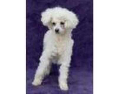 Adopt Noni Spumoni a White Poodle (Miniature) / Mixed dog in Los Angeles