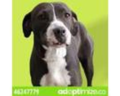 Adopt Sydni a Tan/Yellow/Fawn American Pit Bull Terrier / Mixed dog in El Paso
