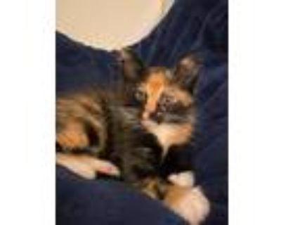 Nessie, Domestic Shorthair For Adoption In Kansas City, Missouri
