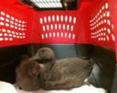 Adopt QUACK SPARROW a Brown Duck / Mixed bird in Denver, CO (31523509)