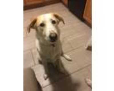 Adopt Bailey a White - with Brown or Chocolate Dachshund / Beagle / Mixed dog in