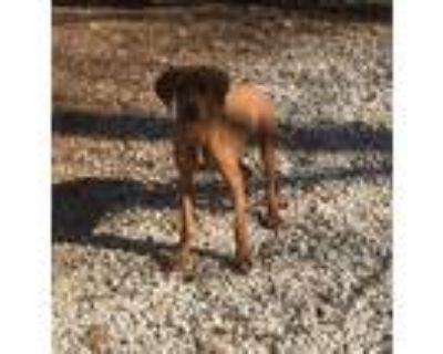 Adopt 5 Red Bone Hound mixes a Red/Golden/Orange/Chestnut Redbone Coonhound /