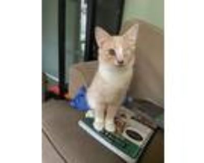 Adopt Author Kittens: Beatrix a Domestic Shorthair / Mixed cat in Washington