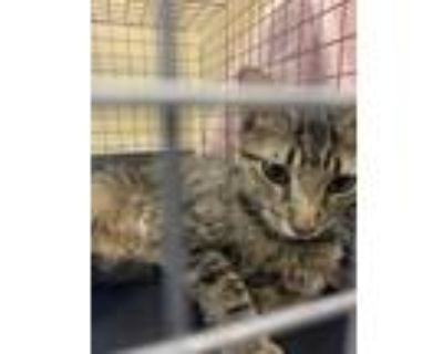 Adopt CALI a Brown Tabby Domestic Shorthair / Mixed (short coat) cat in Fort