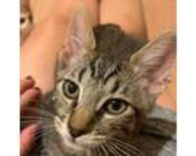 Winesap, Domestic Shorthair For Adoption In Pleasanton, California