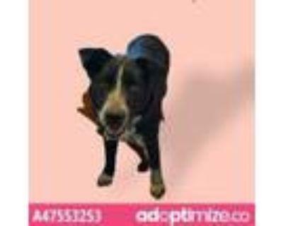 Adopt 47553253 a Black Blue Heeler / Mixed dog in El Paso, TX (31163985)