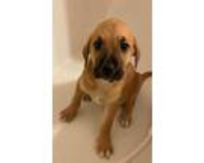 Adopt Tornado a Brown/Chocolate - with Black Cattle Dog / Mixed Breed (Medium) /