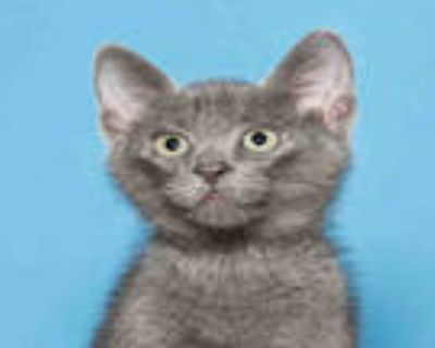 Adopt CASHEW a Gray or Blue Domestic Shorthair / Mixed (short coat) cat in