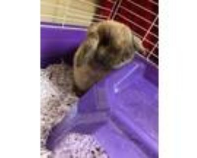 Adopt Sir Hopsalot a Chocolate Lop-Eared / Lop-Eared / Mixed rabbit in Newport