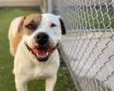 Adopt MILO a Staffordshire Bull Terrier, Mixed Breed