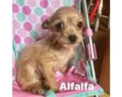 Adopt Alfalfa a Chiweenie, Wirehaired Terrier