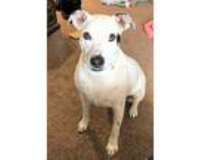 Blitz, Pit Bull Terrier For Adoption In Denver, Colorado