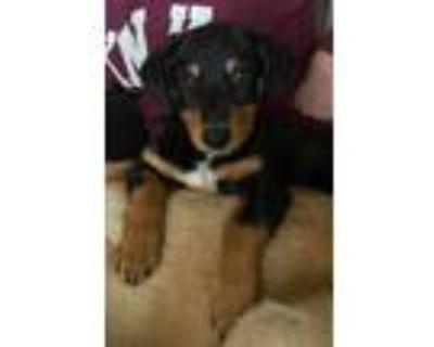 Adopt Cissy a Dachshund, Terrier