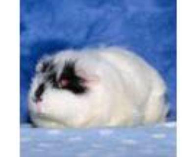 Adopt Betty a Guinea Pig