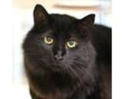 Adopt Salem a American Shorthair, Domestic Short Hair