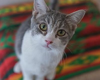 Female Domestic Short Hair named Norma available for adoption