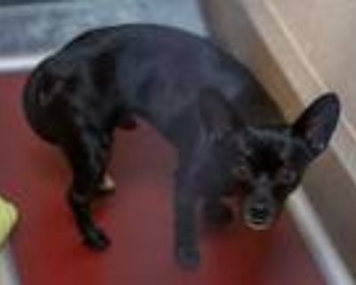 Adopt RAMEN a Black - with White Terrier (Unknown Type, Medium) / Mixed dog in