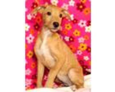 Adopt Agnetha a Tan/Yellow/Fawn Labrador Retriever / Hound (Unknown Type) /