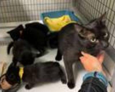 Adopt Anabelle, Pippin, Triss, Pan, Nebula & Draco a Domestic Medium Hair