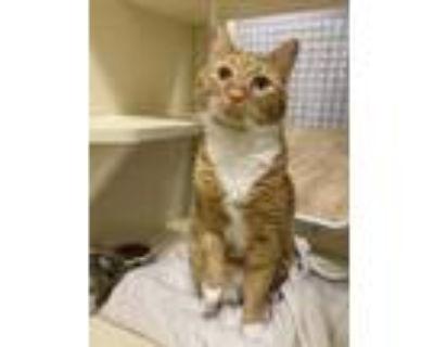 Adopt Cheeto~21/22-0002 a Orange or Red Domestic Shorthair / Domestic Shorthair
