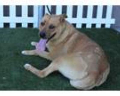 Adopt A552483 a Labrador Retriever, Mixed Breed