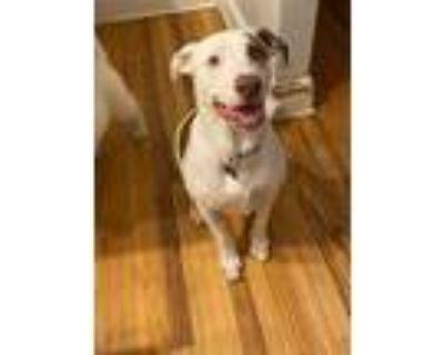 Adopt Scout a Labrador Retriever, Pit Bull Terrier