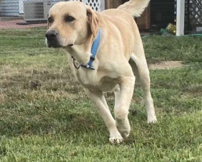 Labrador for Stud