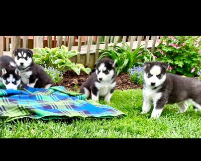 Just Listed**Siberian Husky Puppies to ❤️