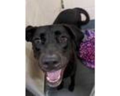 Adopt BACO a Black Labrador Retriever / Mixed dog in Indianapolis, IN (32013834)