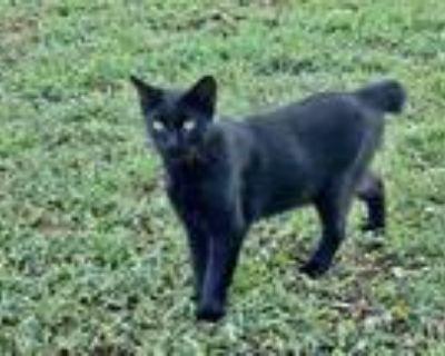 Adopt Solomon a All Black Manx (short coat) cat in haslet, TX (31952378)