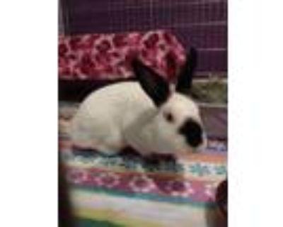 Adopt Bernard (Fostered in Bellevue) a White Californian / Mixed rabbit in