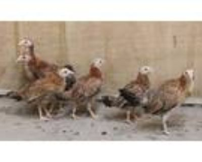 Adopt BEAKS a Red Chicken / Mixed bird in Los Angeles, CA (31504099)