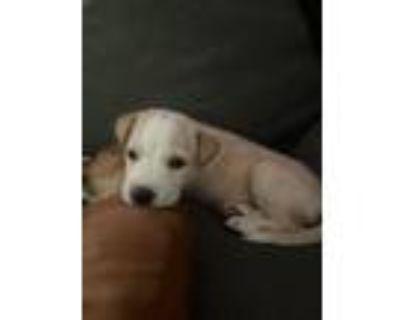 Adopt Starfruit a Shepherd, Labrador Retriever