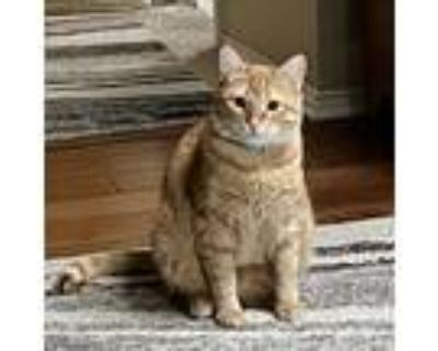 Adopt Clancy a Orange or Red Tabby Domestic Shorthair (short coat) cat in