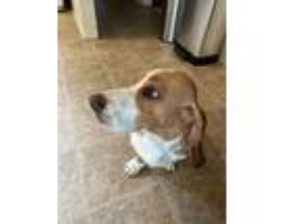 Adopt Rider a Tan/Yellow/Fawn - with White Basset Hound dog in Longmont