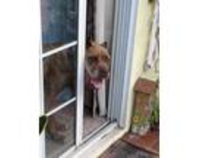 Adopt Alaia a Brindle Cane Corso / Mastiff / Mixed dog in Newport Beach