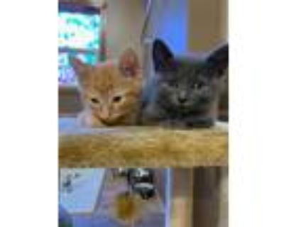 Adopt Mavis Staples a Gray or Blue American Shorthair / Mixed cat in Maywood