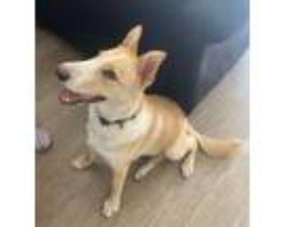 Adopt Jake a Husky, Labrador Retriever